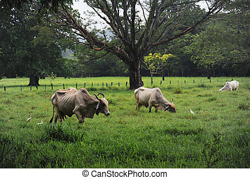 Pasture in Samara region - Cattle grazing on the pasture in...