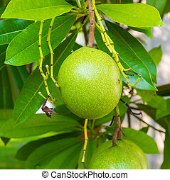 Fruit - Thai fruit on the tree