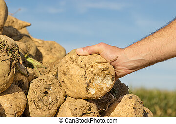 Sugar beet - Someone holding a sugar beet in his hand