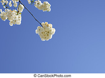 Cherry bg8lossoms in front of a blue sky