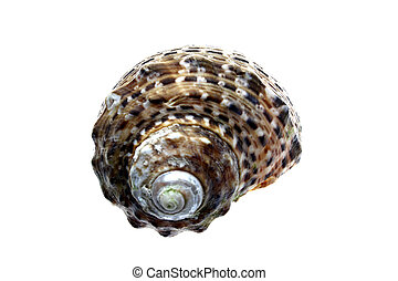 Calico Shell - Calico spiral seashell