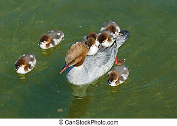 Common merganser duck family - Common merganser duck...