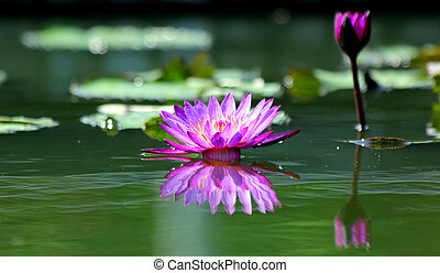 Lotus Flower - Beautifu Water Lily with reflection