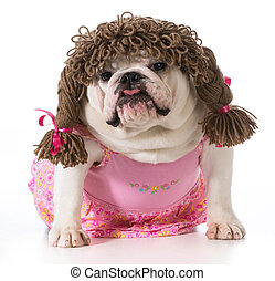 female dog - english bulldog wearing pink dress and pigtail...