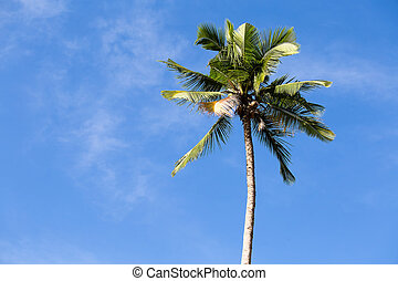 Coconut palm tree in Philippines