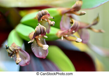 Banana female flowers blossom on Banana tree close up view