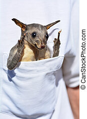 Common brushtail possum - Funny baby common brushtail possum...