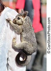 Common brushtail possum - Baby common brushtail possum on...