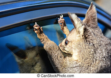 Common brushtail possum on a car window