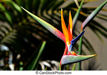 Bird of paradise flower - Strelitzia reginae - Bird of...