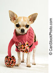 Chihuahua in a pink scarf - Small Chihuahua wearing a pink...