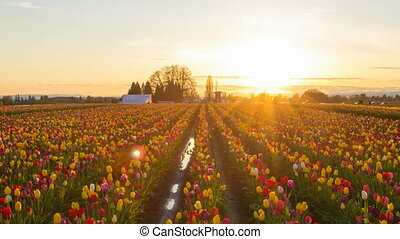 Sunset at Wooden Shoe Tulip Farm - Golden Sunset at Wooden...