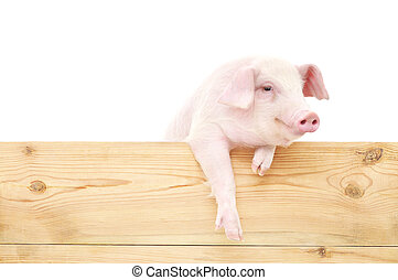 Pig with board isolated on white background