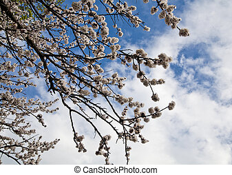 flowers apricot on a background sky