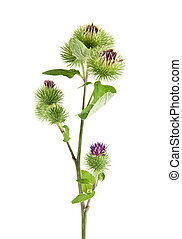 Inflorescence of Greater Burdock on white background One...