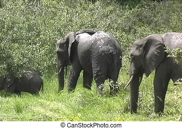 Herd of Elephants walking - Elephants always on the move for...