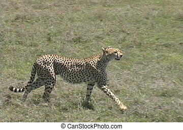 Cheetah looking for a meal - A female cheetah looking for a...