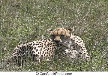 Cheetah missed her prey and needs rest after a hard run -...