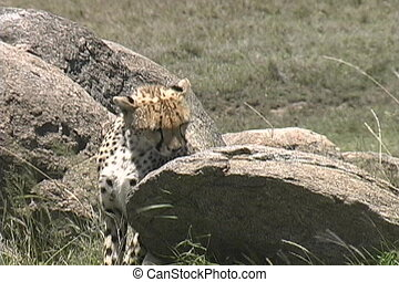 Young cheetah with an injured leg - This is a young cheetah...