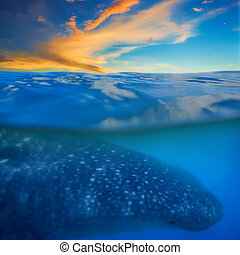 Whale shark below - Sunset and whale shark - above and below...