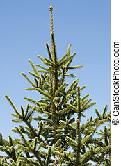 Spanish fir, Abies pinsapo - Leaves and branches of Spanish...