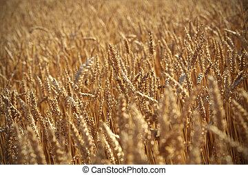Grain field - Ready for Harvest golden Grain field