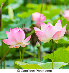 beautiful water lily and leaf in pond - beautiful water lily...