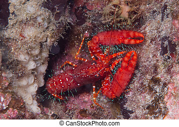 Rock Lobster - A Rock Lobster comes out to look about for...