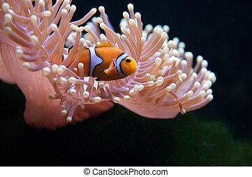 Clownfish and Anemone - The clownfishes are always found...