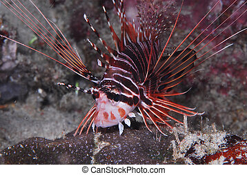 Hunting Lion Fish - A hunting Lionfish, This is the invasive...