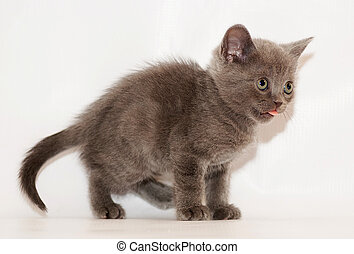 British gray fluffy kitten sits with his tongue out on gray...