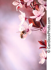Spring cherry blossom - Close up of a branch covered in...