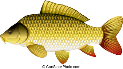 Common carp - Realistic common carp, eps10 illustration with...