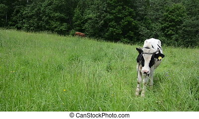 bull graze grass gadfly - mottled bull animals graze in...