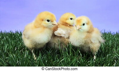 Baby Chicks - Young chickens on a patch of green grass
