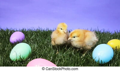 Easter Chicks - Three young chicks surrounded by Easter eggs