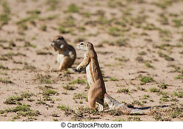 Cute ground squirrel searching for food in the dry Kgalagadi desert