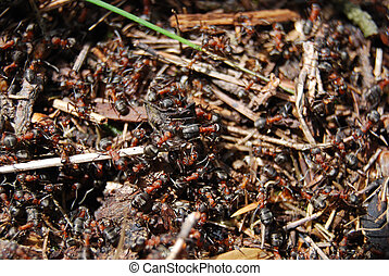 anthill - ants working in anthill