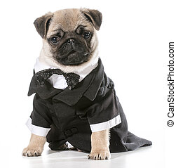 formal dog