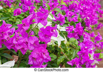 Bougainvillea flower - Close-up backdrop of beautiful bright...