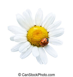 White daisy with ladybug isolated on white background