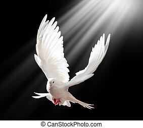 Um, livre, voando, branca, Pomba, isolado, pretas