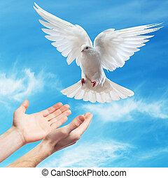 mãos, liberado, céu, branca, Pomba
