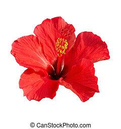 Hibiscus rosa sinensis - Red flower- Hibiscus rosa sinensis...