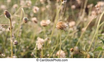 closeup of chamomile flowers
