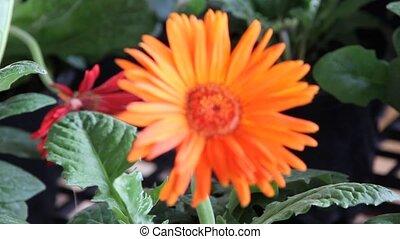 gerbera daisy blowing in the wind