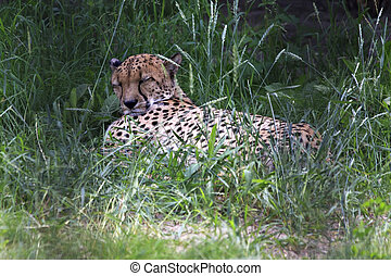 Beautiful cheetah resting in the grass.