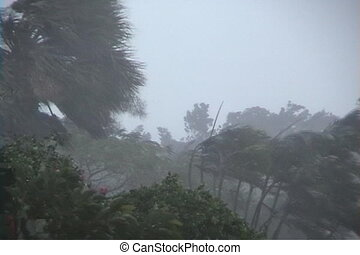 Hurricane Palms - Hurricane Force winds blowing palm trees...