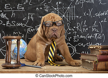French Mastiff puppy in glasses with books - Young cute dog...