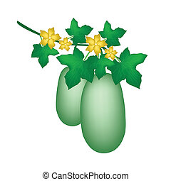 A Winter Melon Plant on White Background - Vegetable and...